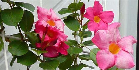 plante grimpante en pot plein soleil grimpantes pour pot