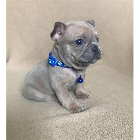 akc male female french bulldog puppies  miami florida