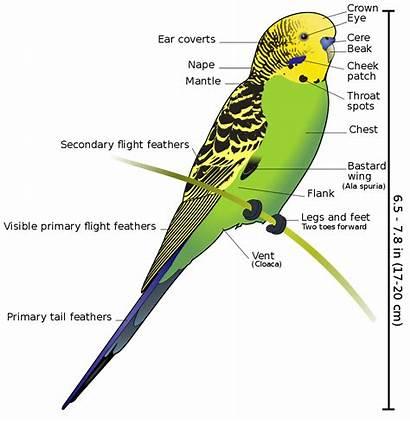 Diagram Budgerigar Labeled Svg Parts Labelled Bird