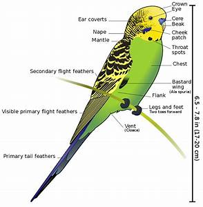 File Budgerigar Diagram-labeled Svg