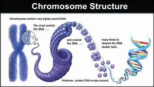 Chromosome Structure  Describe The Structure Of A Chromosome