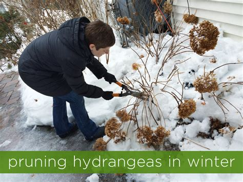 Pruning Hydrangeas In Winter  Rather Square