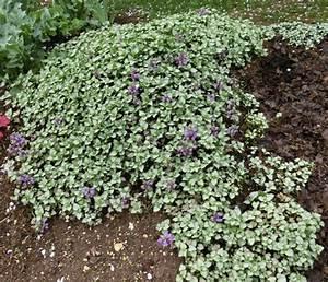 Couvre Sol Vivace : plantes vivaces couvre sol page 22 au jardin forum ~ Premium-room.com Idées de Décoration