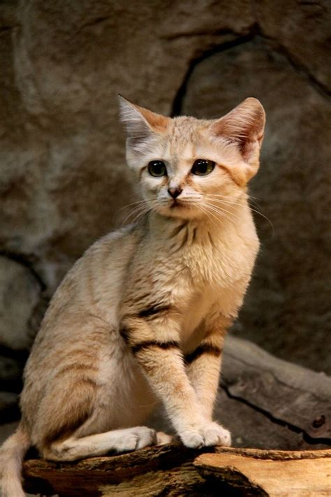 17 Best Cats That Look Like Other Animals Images On