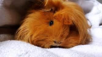 pin  guinea pigs