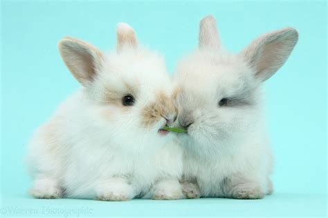 cute baby bunnies  blue background photo wp