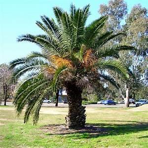 Phoenix Canariensis Entretien : jardins bleus palmier des canaries dattier des canaries ~ Melissatoandfro.com Idées de Décoration