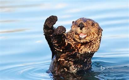 Funny 1080p Animal Wallpapers Otter Bing Sea