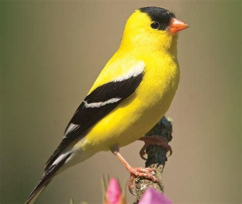 best 28 what do gold finches eat british finches