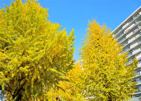 ginco trees why we still plant smelly ginkgo trees