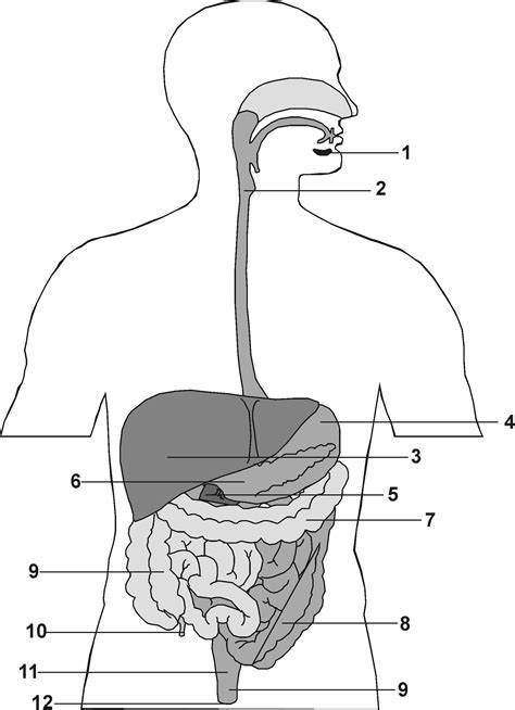Human Diagram Unlabeled by Unlabeled Digestive System Diagram Unlabeled Digestive