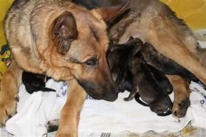 Puppies German Shepherd Newborn | www.imgkid.com - The ...