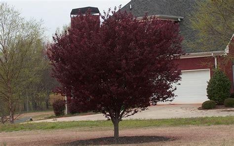 leaf plum tree purple leaf plum bcmgva org