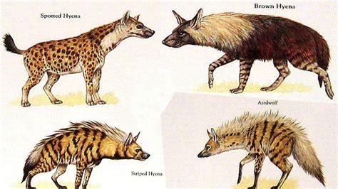 hyena species species list youtube