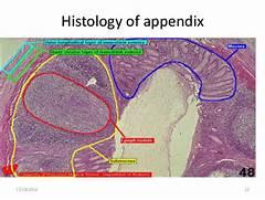 histology of appendix 12 18 2014 12 13 colon histology  Taenia Coli Histology