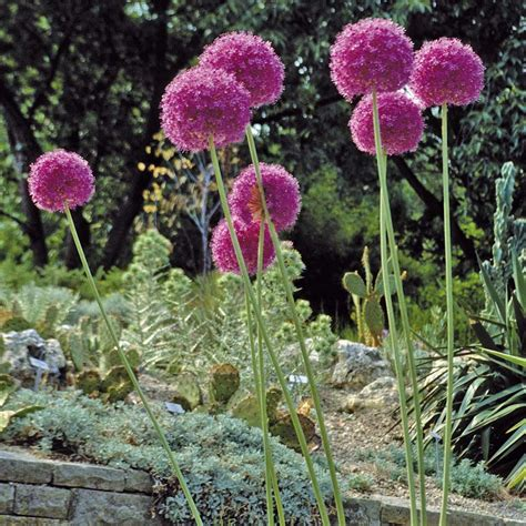 what to plant with allium allium giganteum allium bulbs