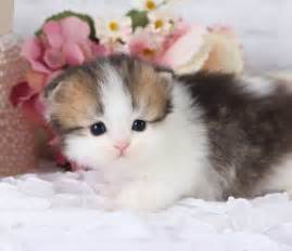 tea cup cats shaded golden white teacup kitten ultra