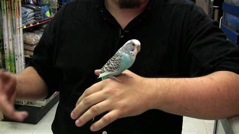pet birds how to buy a parakeet youtube