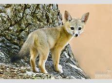 San Joaquin Kit Fox pup, Vulpes macrotis mutica, Urban car