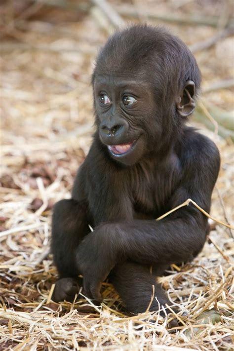 baby gorilla posing   smile luvbat