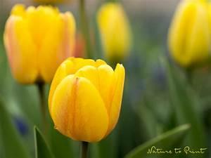 Tulpen Im Topf In Der Wohnung : gelbe tulpen wo blumenbilder wachsen ~ Buech-reservation.com Haus und Dekorationen