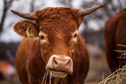 Cow Horns Eating Animals Wallpapers Background Animal