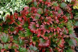 Plante De Bordure : plante vivace couvre sol mukdenia rossii karasuba culture ~ Preciouscoupons.com Idées de Décoration