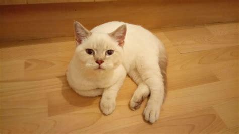shorthair kittens for sale shorthair colourpoint kittens for sale