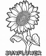 Sunflower Coloring Pages Flower Printable Flowers Topcoloringpages Sheets Coloringfolder Info Summer Adult Whitesbelfast Credit Save Plant Fun sketch template