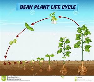 Diagram Showing Bean Plant Life Cycle Stock Vector