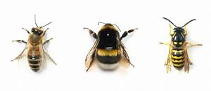 Is it a honeybee, a bumblebee or a wasp?! — Beeloved