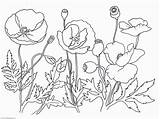 Poppy Coloring Flower Pages Drawing Poppies Printable Remembrance Template Oriental Leaves Sketch Clipart Getdrawings Sheets Clip Getcolorings Library Coloringhome sketch template