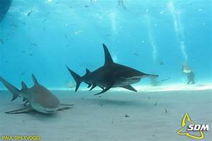 Tiger Shark Vs Bull Shark Who Would Win