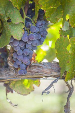 summertime  california vineyards california wine club