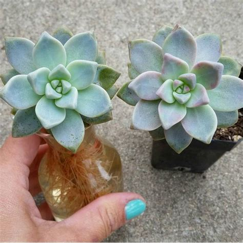 succulents in water 1000 ideas about propagate succulents on pinterest succulents propagation and succulent plants