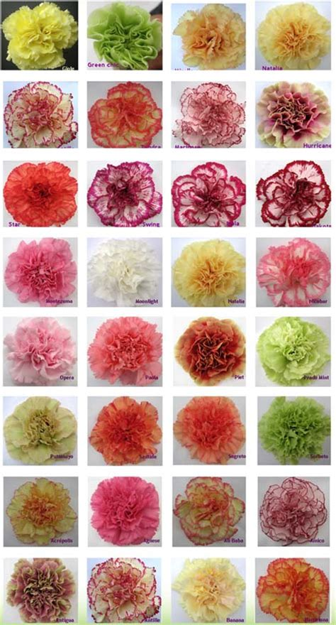 carnation color meanings carnation color guide flirty fleurs the florist