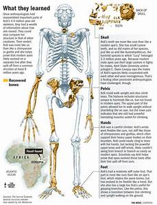 Ardipithecus ramidus - skeleton | 3-Ardipithecus ramidus ...