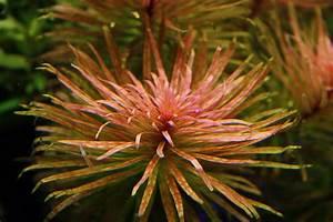 Ludwigia inclinata var. verticillata 'Cuba' photo - Oliver ...