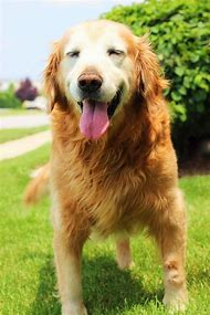 Golden Retriever Dog Adoption