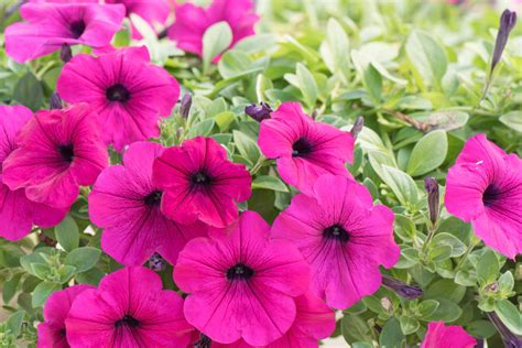 when to plant petunias how to plant wave petunia ebay