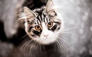 cat wallpaper 4k cat wallpapers high quality free