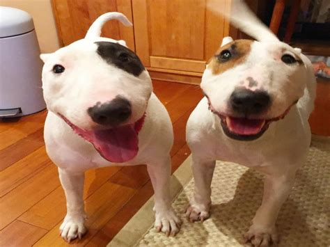amazing facts  miniature bull terrier