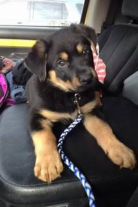 Top 25+ best Rottweiler mix ideas on Pinterest ...