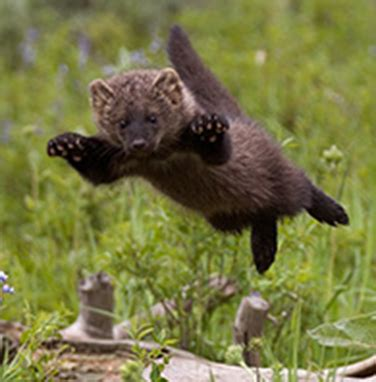 Fishers are mustelids (weasel family) that live in