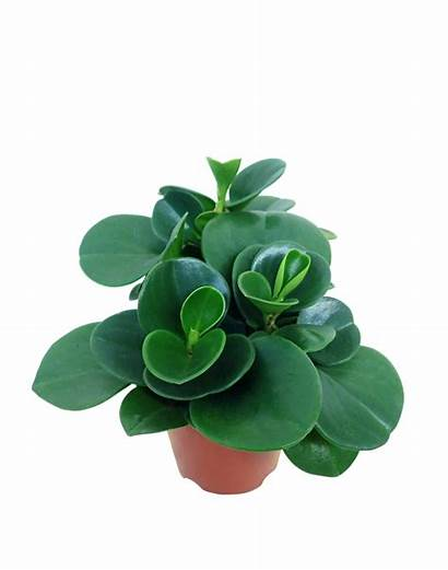 Peperomia Plant Indoor Tree Giving Extra