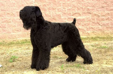 Low Shedding Dogs In India by Large Dogs That Dont Shed Much Non Shedding Breeds