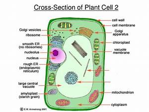 Cross-Section of labeled Plant and Animal Cell