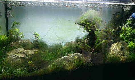 Aquascaping Forum - bartalgen in massen algen im aquarium aquascaping forum