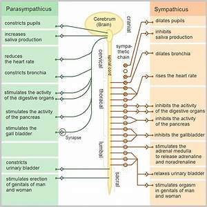 Peripheral Nervous System - Structure - Summary