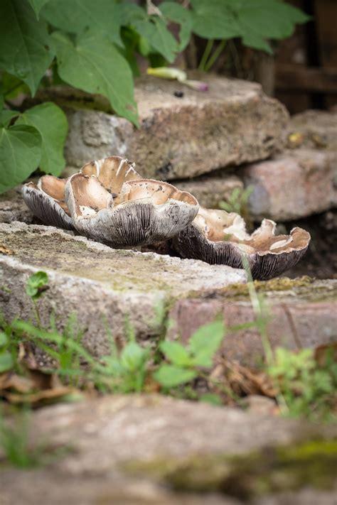 Pilze Im Garten Ernten by Essbare Pilze Im Garten Z 252 Chten So Legt Ein Pilz